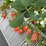 いちごは『strawberry』