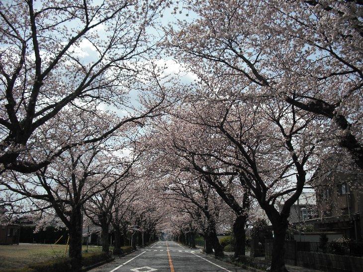 【富岡町】夜の森の桜のトンネル