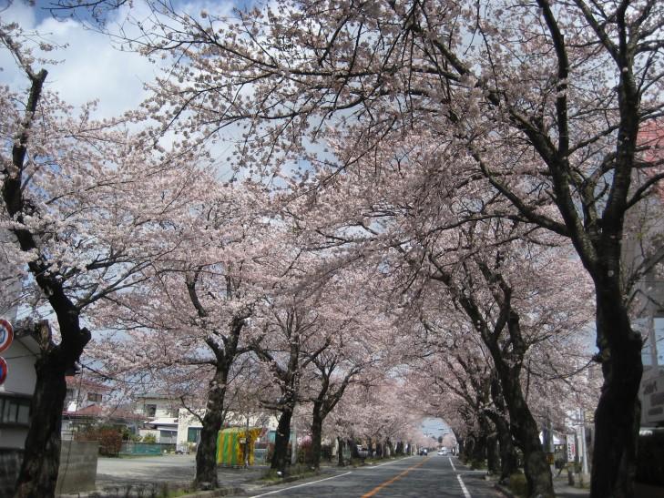 富岡町夜の森の桜のトンネル(2010年4月撮影)