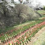 新地の桜とチューリップ