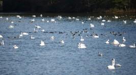 相馬・手ノ沢溜池の白鳥