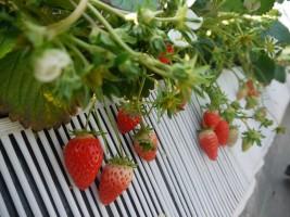大きな粒が紅く熟した相馬市和田のいちご