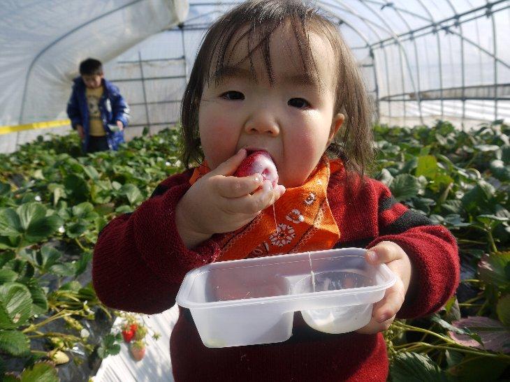 和田観光苺園のいちご狩り。こどもたちの笑顔あふれます。