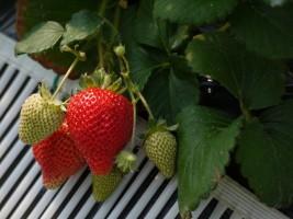大きな果実いっぱいの甘さ、和田観光苺園の「さちのか」