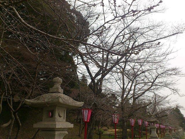 相馬市馬陵公園(旧相馬中村城蹟)、桜の蕾がふくらみはじめました