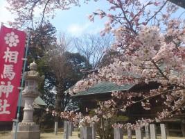 【相馬市】馬陵公園、相馬神社の桜