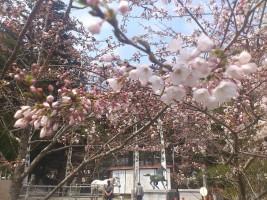 相馬中村神社の桜
