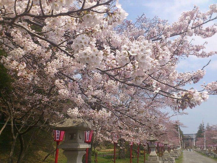 【相馬市】馬陵公園、相馬野馬追総大将御出陣の参道の桜