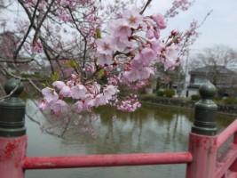 涼ヶ岡八幡神社、放生池に架かる神路橋の桜