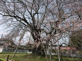 【相馬市】椎木の種蒔ザクラ