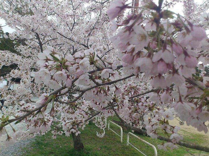 【相馬市】馬陵公園、長友グランドの桜