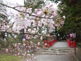 大手門から旧相馬中村城本丸への赤橋の桜