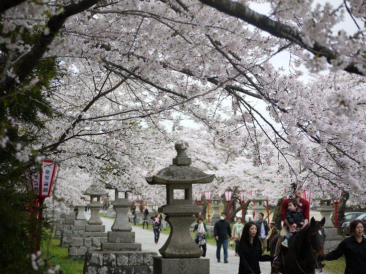 【相馬市】相馬中村神社参道の桜並木
