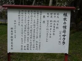 【相馬市】種蒔ザクラ