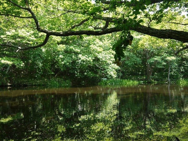 川内村、平伏沼 モリアオガエルのたまご