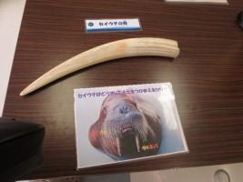 9/29[南相馬市博物館]アクアマリンふくしま移動水族館