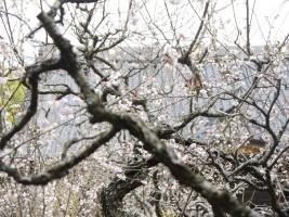 浪江町、大聖寺の梅は満開