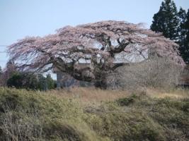 [南相馬市小高区]飯崎のしだれ桜