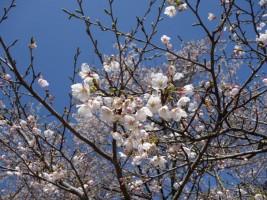 [新地町]子眉峰神社の桜