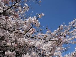 [相馬市]馬陵公園の桜