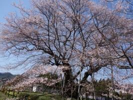 [相馬市]椎木の種蒔ザクラ