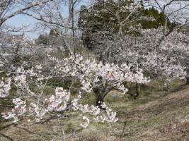 [南相馬市鹿島区]桜平山公園