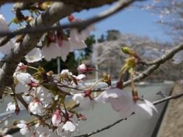 [新地町]子眉嶺神社の桜