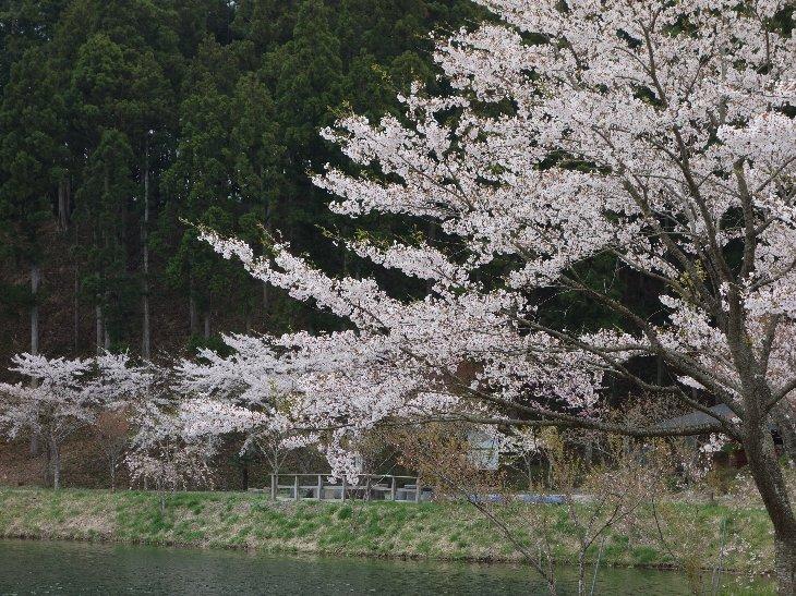見頃を迎えた桜