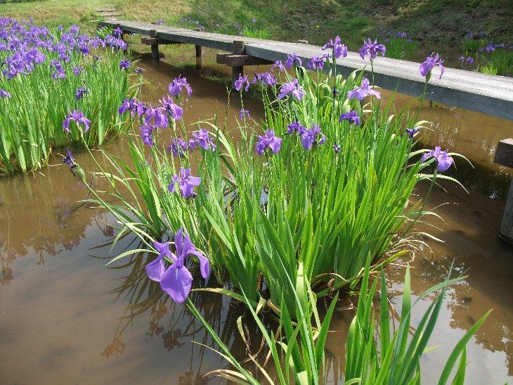 水生植物の花「カキツバタ」