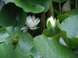 「右近清水」に咲く『睡蓮』