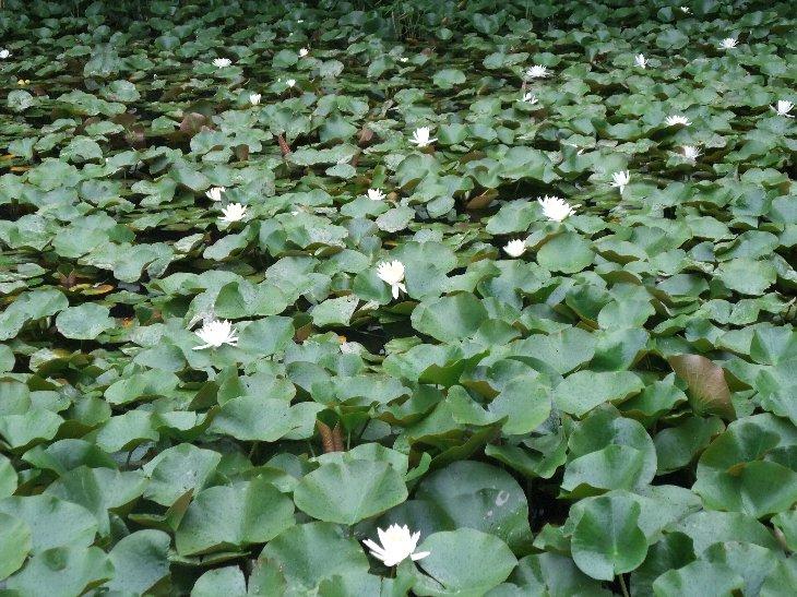相馬地域開発記念緑地に咲く『睡蓮』