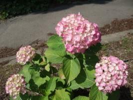 色とりどりのあじさいの花が開花