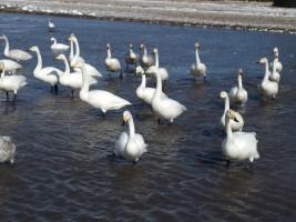 たくさんの白鳥が飛来しています