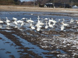 たくさんの白鳥