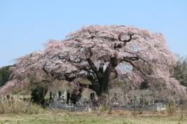 飯崎のしだれ桜