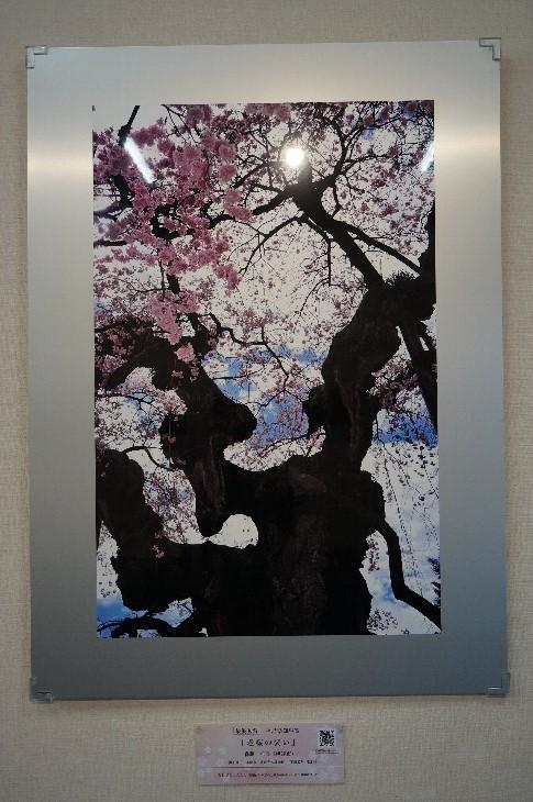 【最優秀賞】作品 老桜の装い
