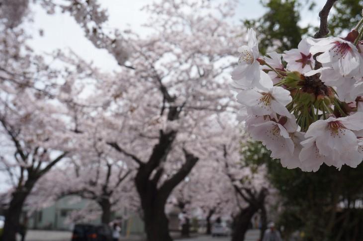 20160408t_tomioka_sakura004