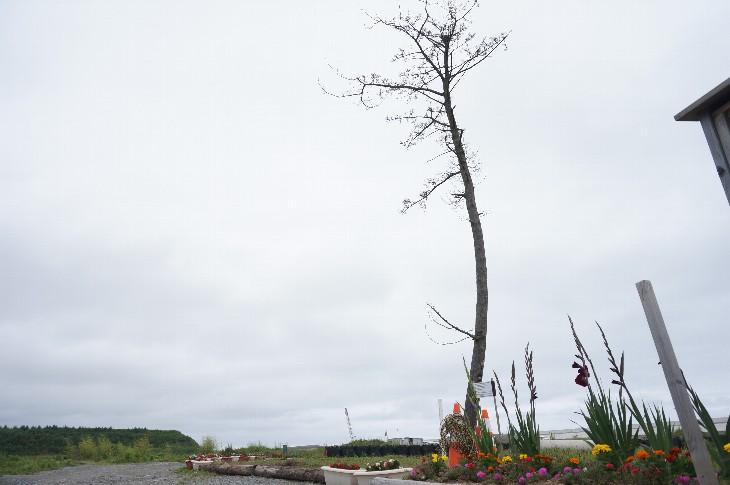 『かしまの一本松』苗木が植栽