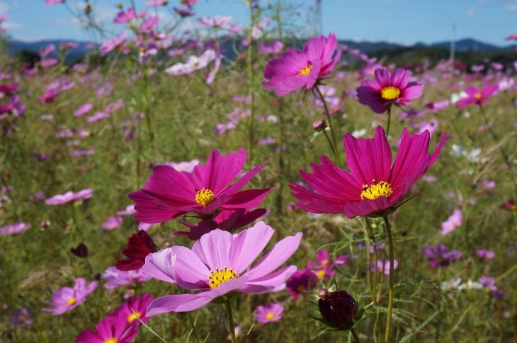 コスモスの花々