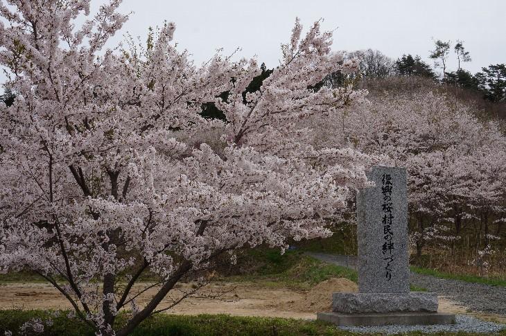 飯舘復興の桜