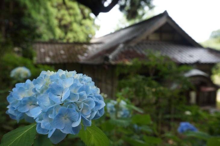 大悲山アジサイ開花