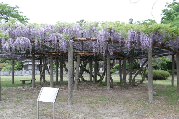 【相馬市】相馬神社の藤の花