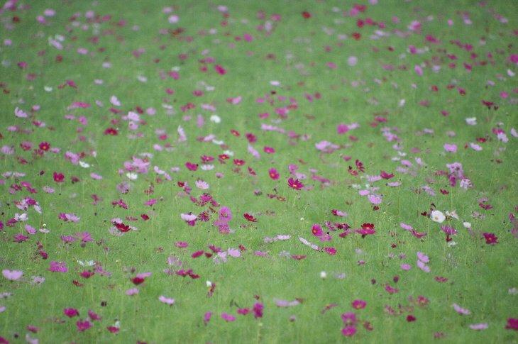 【浪江町】に咲くコスモス