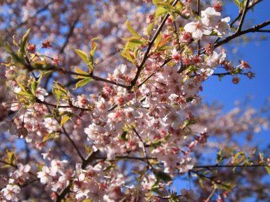 【南相馬市原町区】大漁桜が見頃です