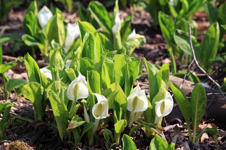 【南相馬市原町区】ミズバショウが咲きはじめました