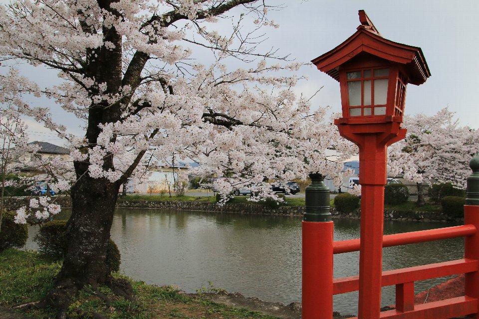 2020相双の桜[相馬市]涼ヶ岡八幡神社