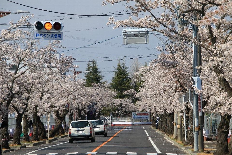 2020相双の桜[富岡町]夜ノ森