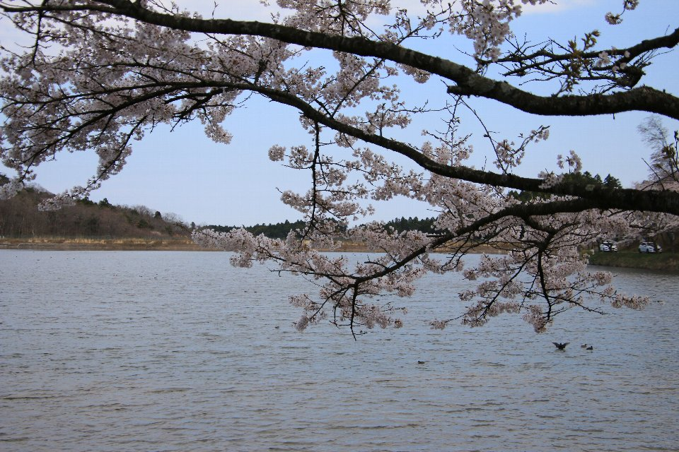 2020相双の桜[新地町]右近清水