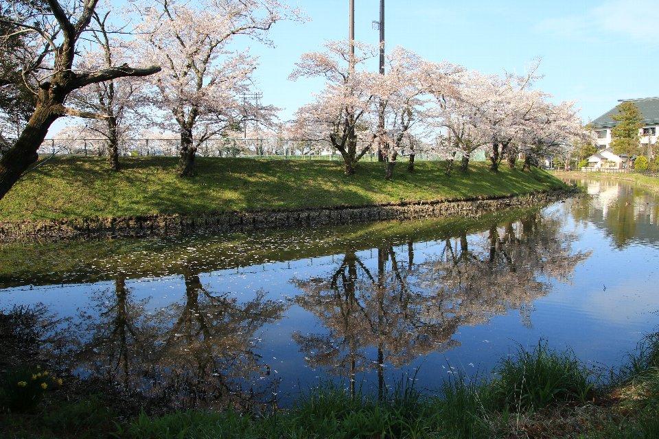2020相双の桜[相馬市]馬陵公園
