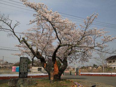 桜並木標準木 - 富岡町